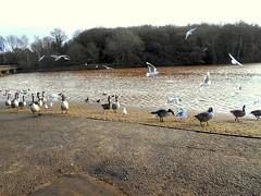 Rufford Park (kelvin mann) Tags: ruffordcountrypark rufford ruffordpark birds wildlife nottinghamshire notts water outdoors ducks