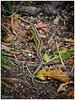 Zauneidechse in den Bergen (ahand grafX) Tags: zauneidechse tier reptil schuppenkriechtier sandlizard
