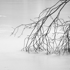 Bien accro ** (Titole) Tags: nb noiretblanc bw blackandwhite squareformat titole nicolefaton ice branches thechallengefactory friendlychallenges