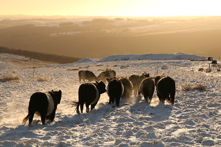 Belted Galloway's In The Snow