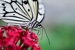 Butterfly (LuckyMeyer) Tags: black white baumnymphe flower fleur schmetterling butterfly