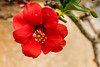 Quince flower (Keith in Exeter) Tags: quince chaenomeles red flower garden blossom nature