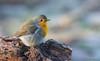 Robin (explore) (Jongejan) Tags: robin roodborst bird wildlife nature outdoor wood tree explore