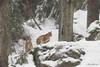Cuccioli di Lince (Mauro Gialdini) Tags: lince lynxlynx bayerischerwald