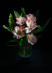 Alstroemeria flowers with fern.jpg (foodfulife) Tags: alstroemeria flower flowers petal leafs fresh natural beautiful delicate blackbackground vase water flowersinwater glass pot pink bouquet vertical colourimage fineart print green yellow closeup lowkey nature lovefornature