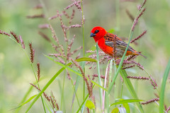 Red fody (dave_poth) Tags: