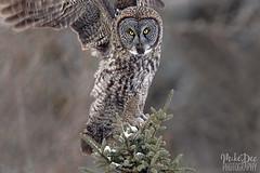 IMG_8303nx (4President) Tags: great gray owl saxzim bog minnesota