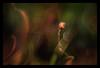 kinky (pete ware) Tags: sporophyte capsule verysmallorganic macro peteware ringflashheldoffcamerashot petewarenikond7000 nik photoshop