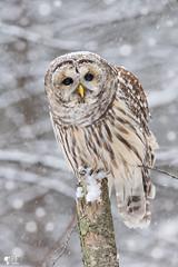 ''Petite neige!'' Chouette rayée-Barred owl strix varia (pascaleforest) Tags: hibou owl animal passion nkon nature bird oiseau neige snow wild wildlife faune québec canada