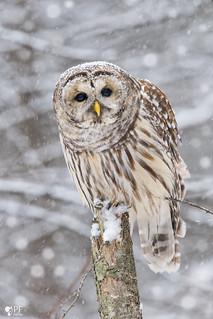''Petite neige!'' Chouette rayée-Barred owl strix varia