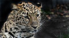 Amurleopard (karinrogmann) Tags: amurleopard leopardodellamur zooschönbrunn wien vienna