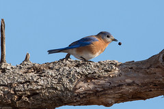 Eastern Bluebird (grobinette) Tags: easternbluebird bluebird occoquanbaynationalwildliferefuge explored