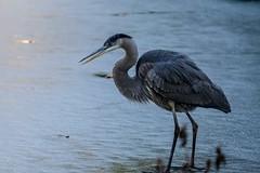 Great Blue Heron (AMRosario) Tags: great blue brooklynbotanicgarden brooklyn lightroom birds bbg xt10 55200mm greatblueheron heron newyorkcity bird