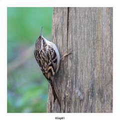 Grimpereau des jardins (gilbert.calatayud) Tags: certhiabrachydactyla certhiidés grimpereaudesjardins passériformes shorttoedtreecreeper bird oiseau laddo domaine des oiseaux mazères ariège midipyrénées