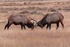 Elk sparring near the North Entrance (YellowstoneNPS) Tags: gardiner jacobwfrank montana northentrance ynp yellowstone yellowstonenationalpark elk fall sparring