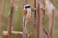 Penduline Tit (drbut) Tags: pendulinetit reeds water pond lake bird birds nature wildlife canonef500f4lisusm remizpendulinus