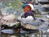 ZOO-Bummel im Dezember - Mandarin-Ente (thobern1) Tags: zoo karlsruhe badenwürttemberg germany mandarinente ente aixgalericulata