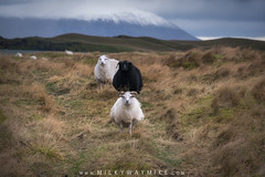 DSC_8059-Edit-1 (Mike Ver Sprill - Milky Way Mike) Tags: sheep iceland goat horn black white north icelandic nature landscape farmland farm agriculture mike ver sprill michael versprill travel explore nikon 70200 f4 grass tall windy cold october 2017 animals