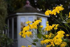 August in the Garden - Explored (Mark Wordy) Tags: mygarden rudbeckiaherbstonne yellow flowers summerhouse