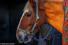 When You've Cleaned My Room, I Need Some Grooming (M C Smith) Tags: pentax k3 horse sunlight stable blue haynet rug red light building blockwork headcollar green eating white