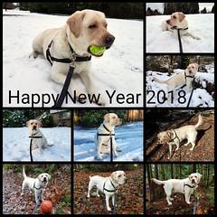 Gracie wishes you all a happy, fun and exciting 2018! (walneylad) Tags: gracie newyearwish thanks thankyou happynewyear 2018 dog canine cute pet puppy lab labrador labradorretriever