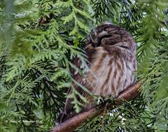 123117 Sleepy Saw Whet (wildcatlou) Tags: nisquallynationalwildliferefuge nature wildlife bird raptor winter owl sawwhetowl tree cedar thuja