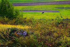 Chłopskie pola 33 (Hejma (+/- 5400 faves and 1,7 milion views)) Tags: pola uprawne łąki pastwiska krowa krzewy skały wapienne