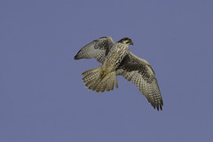 Prairie Falcon (Peter Stahl Photography) Tags: prairiefalcon falcon hunting winter albertagrainterminal raptor birdofprey bluesky