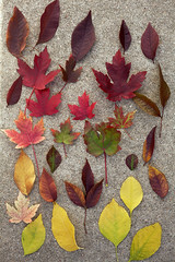 Emblems of Change (Miss Marisa Renee) Tags: marisarenee digital canon canon5dmarkii colorado nature leaves fall autumn october2017 2017 fallleaves autumnleaves yellow green orange red color colorful sidewalk cement arranged arrangements arrangement change season favorite collection aurora