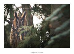 Waldohreule (florianpluecker) Tags: waldohreule long eared owl eule bird vogel germany deutschland natur nature wildlife birding backyard garten sigma 150600 contemporary