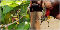 It's alive! (LeftCoastKenny) Tags: madagascar day13 lamandrakanaturefarm insect locust grasshopper