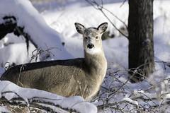 2017-12-31 Baby Deer (DocMcCoy) Tags: deer babydeer snow winter frozen eyes doeeyes calgary alberta canada wildlife natgeo