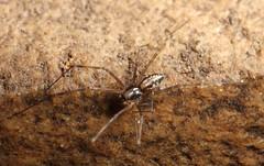 Linyphiidae (iainrmacaulay) Tags: spider australia linyphiidae male