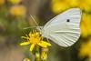 Pieris rapae (Jaume Bobet) Tags: pieris rapae lepidoptera pieridae mariposa insecto macro bobet canon sigma