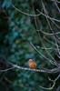 Common Kingfisher (Alcedo atthis) (markhortonphotography) Tags: kingfisher surrey macro markhortonphotography nature bird colourful avian elusive wildlife thatmacroguy alcedoatthis