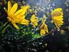 2018-001 Flowers (Michael_Soliman) Tags: 2018 flowers year7 flora droplets project365 sanluisobispo california unitedstates us