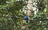Trogon surrucura mâle, au milieu des branches
