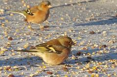6203 Chaffinch - Fringilla coelebs (Andy - Busyyyyyyyyy) Tags: bbb birdfood birdseed birds ccc chaffinch chaffinchfringillacoelebs fff fringillacoelebs garageroof garden
