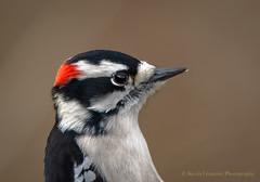 Downy Woodpecker (Kevin James54) Tags: nikond850 peacevalleypark tamron150600mm animals avian bird downywoodpecker kevingianniniphotocom picoidespubescens woodpecker