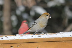 Pine Grosbeak (Pinicola enucleator)(Female) (Gerald (Wayne) Prout) Tags: pinegrosbeak pinicolaenucleator passeriformes fringillidae animalia aves chordata pinicola enucleator female herseylakeconservationarea cityoftimmins northernontario northeastern ontario canada prout geraldwayneprout canon canoneos60d eos 60d digital camera photographed photography pine grosbeak birds animals wildlife nature feeder perchingbirds seeds herseylake hersey lake conservationarea conservation area timmins city