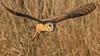 Barn Owl (photosauraus rex) Tags: owl bird barnowl vancouver bc canada tytoalba