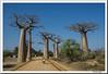 Avenida de los Baobabs (doctorangel) Tags: avenida doctorangel doctor angel lémur madagascar madagaskar island red africa afrika مدغشقر 马达加斯加 馬達加斯加 マダガスカル มาดากัสการ์ île rouge afrique australe natures wildlife république madagasikara repoblikani malgache malagasy isla gente people retratos portraits morondava avenue de los baobabs du des baobab paseo