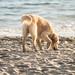 Golden Retriever on the Beach -  Malibu, California