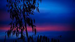 Blue Gum Sunset (RP Major) Tags: blue gum sunset silhouette pink blackburn south clouds sky night olympus