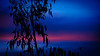 Blue Gum Sunset (Ross Major) Tags: blue gum sunset silhouette pink blackburn south clouds sky night olympus