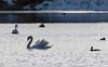 9Q6A6752 (2) (Alinbidford) Tags: alancurtis alinbidford brandonmarsh wildbirds muteswan