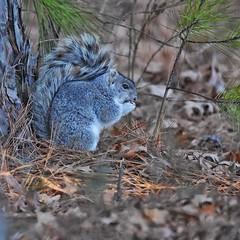 Delmarva Fox Squirrel (Sciurus niger cinereus) (JRWhitaker1) Tags: woodland squirrel delmarvafoxsquirrel sciurusnigercinereus blackwaternationalwildliferefuge mammal rodent maryland dorchestercounty nikon tamron150600 lowlight highiso cropped