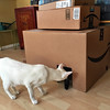 (polyphemus_polly) Tags: boxes whitecat orientalshorthair catsinboxes