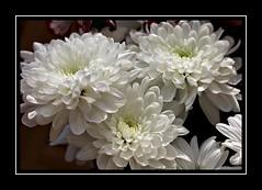 White Petals (Audrey A Jackson) Tags: canon60d nature petals white closeup