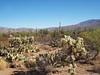 Sonoran Desert (jeffcbowen) Tags: saguaronationalpark desert tucson arizona